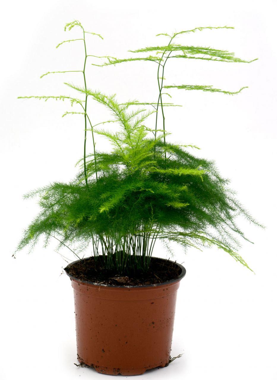 Feder-Spargel (Asparagus Plumosus)