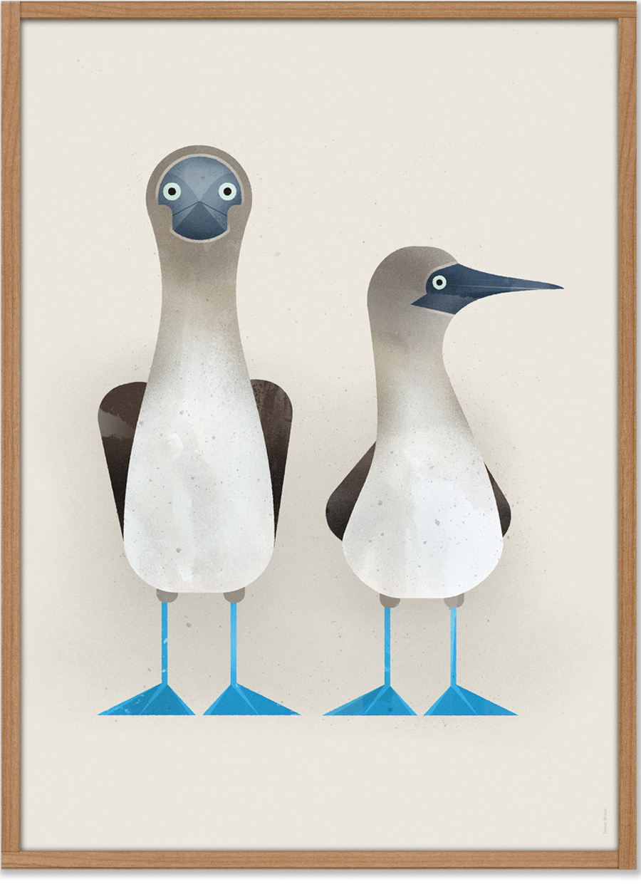 Blue-footed Boobies Poster (50 x 70 cm)