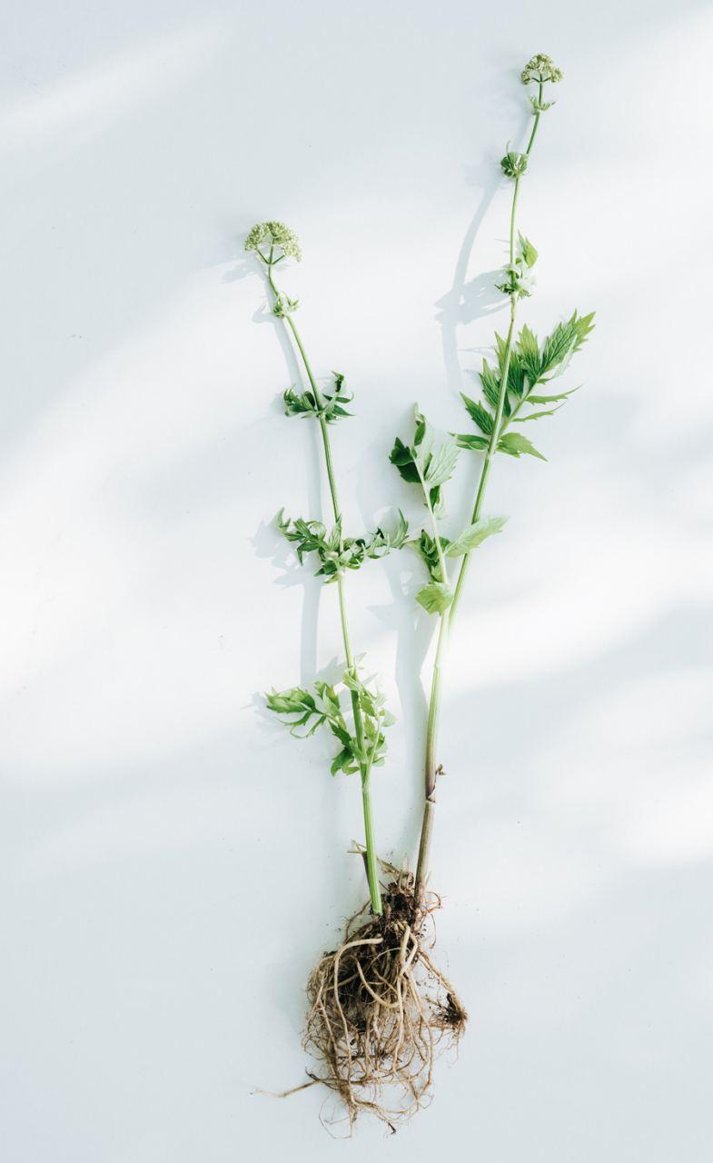 Ruhe - Kraftvolle Bio-Wildkräuter (15ml)