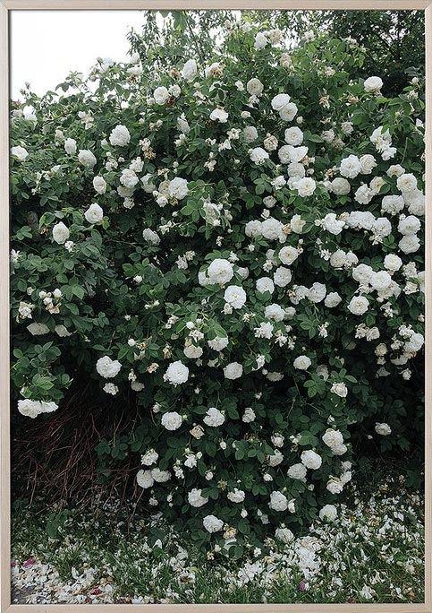 Roses Poster (70x100cm)