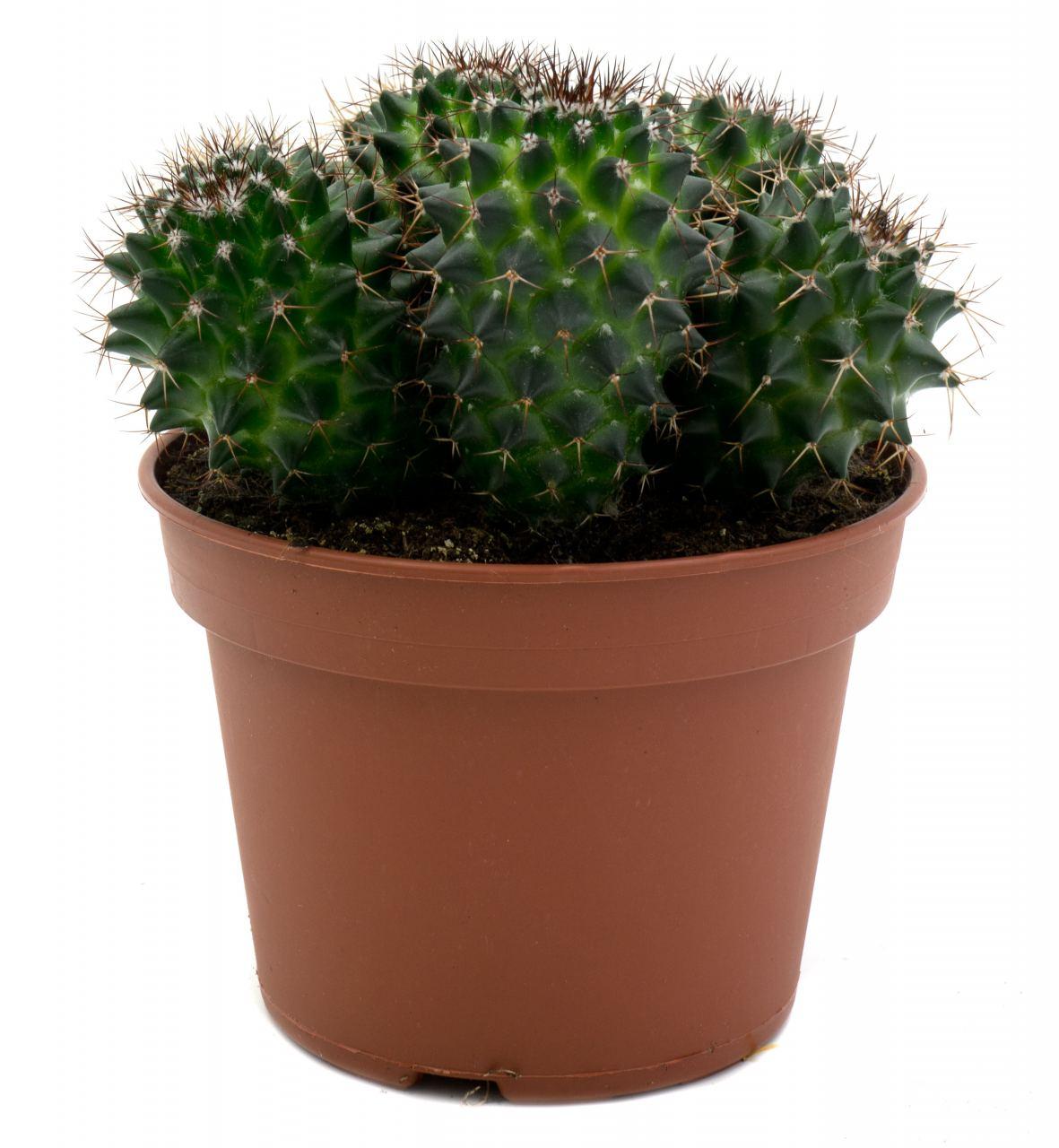 Kaktus #7