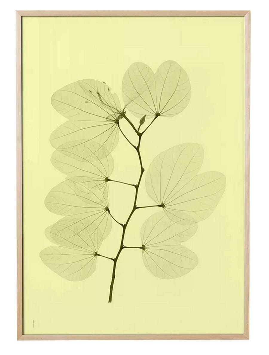 Orkidebauhinia Poster (70 x 100 cm)