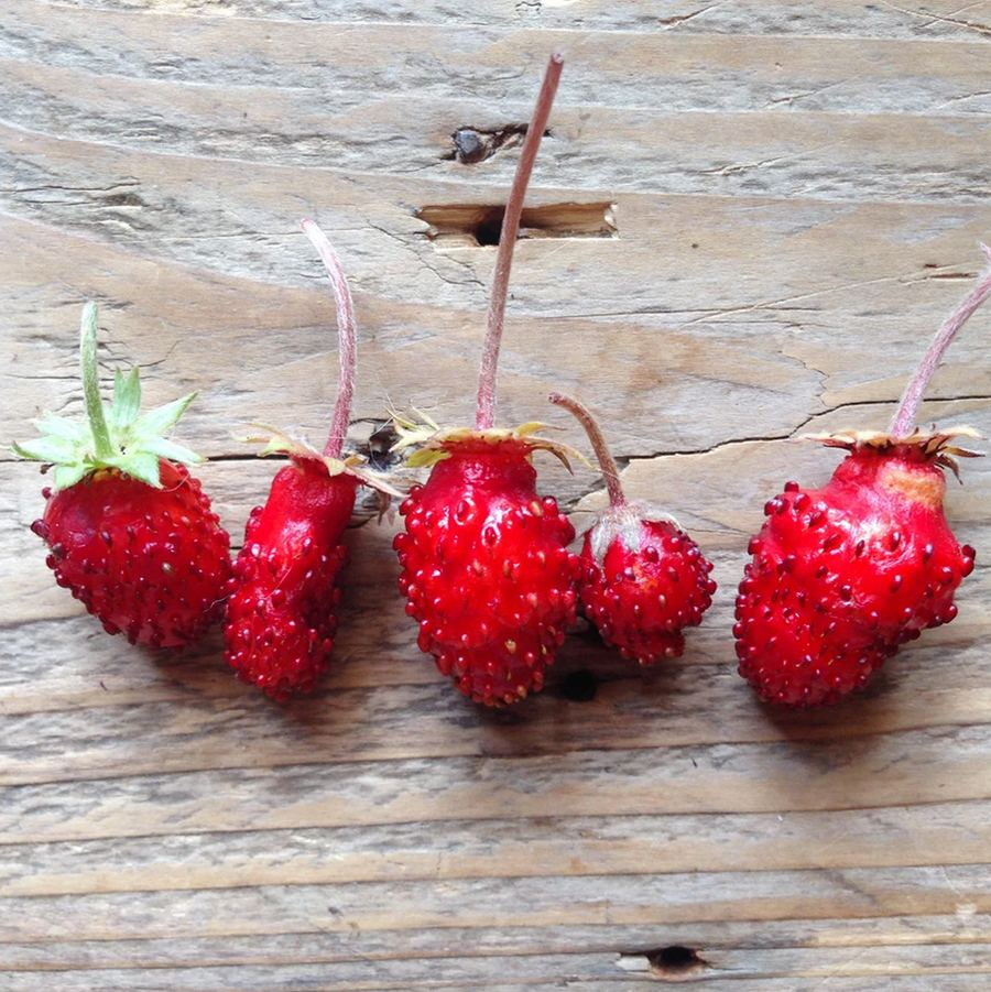 Alpine Strawberry Saatgut