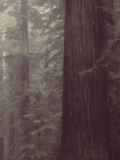 Redwood Poster (50 x 70 cm)