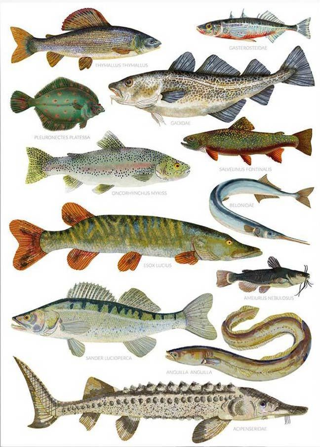 Fische Print (Din A3)