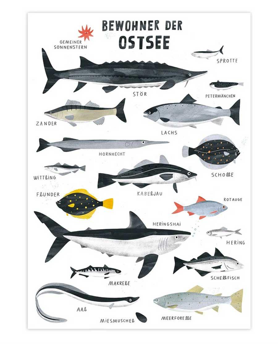Bewohner der Ostsee Print (Din A3)