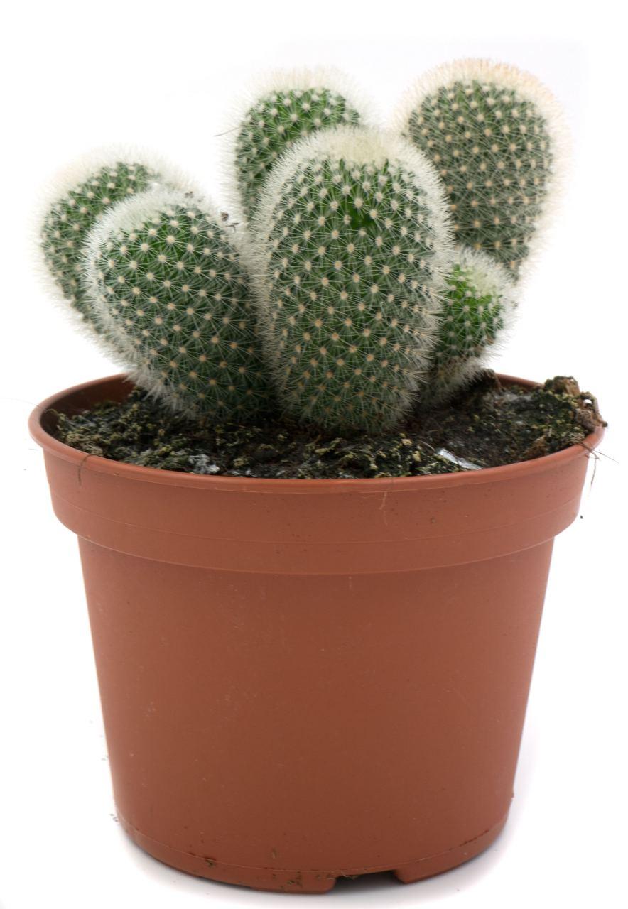 Kaktus #6