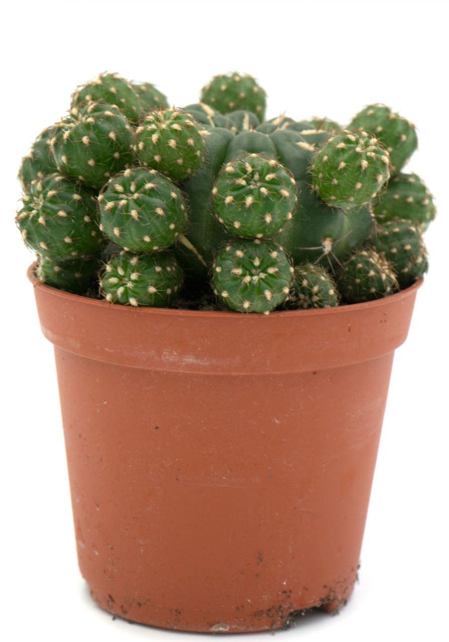 Matucana Kaktus