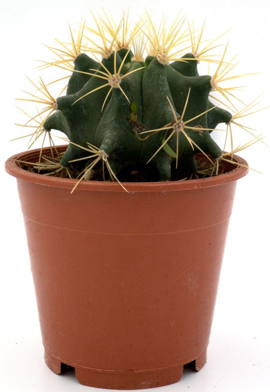 Kaktus #5