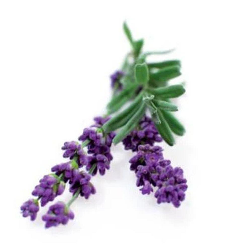 Lavendel Munstead Blue Saatgut