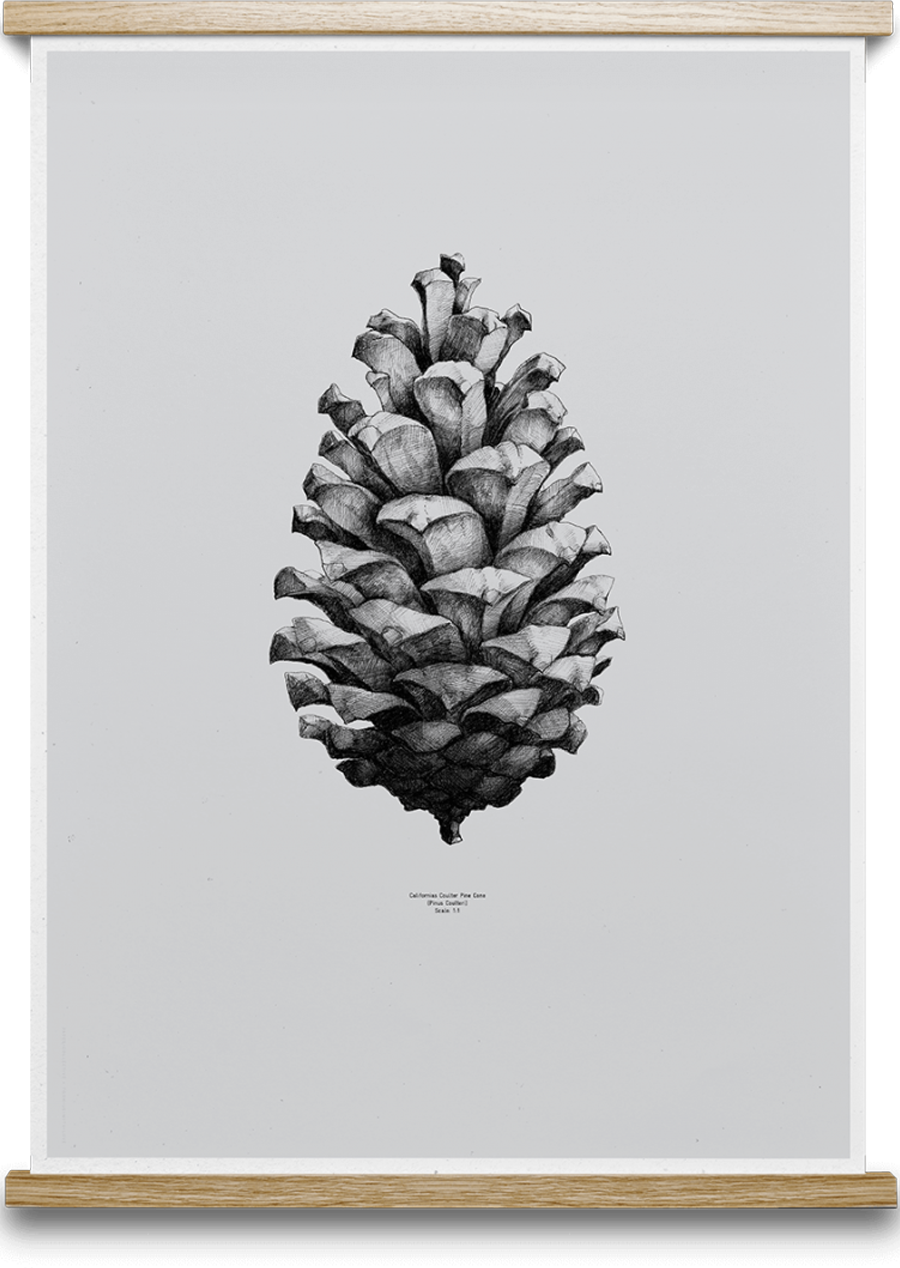 Pine Cone Grey Poster (50x70cm)